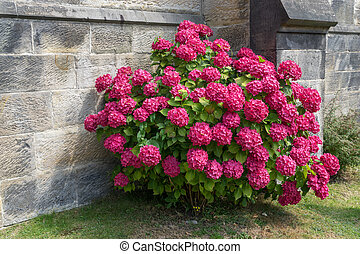 hortensia, rouges