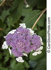 hortensia, sargentiana, jardin fleur