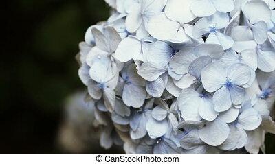 Hortensia tree in botanic garden