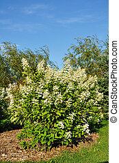 hortensie, busch, blühen