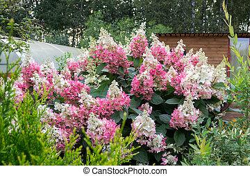 hortensie multi busch gef rbt bl ten multi kugel gef rbt viele hortensie busch. Black Bedroom Furniture Sets. Home Design Ideas