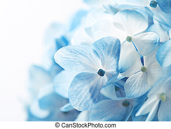 hortensja, kwiaty, ba