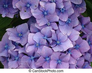 hortensja, purpurowy