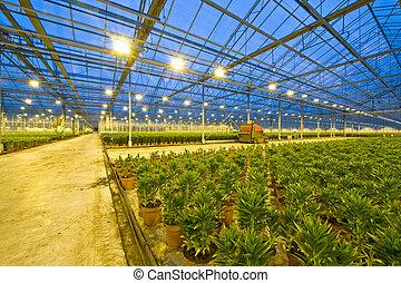 horticultura, lirio