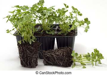 horticulture parsley seedlings for transplanting