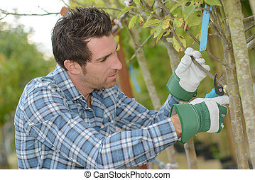 Horticulturist pruning tree branch