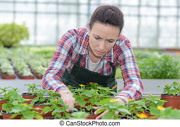 Horticulturist sorting plants