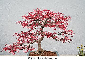 hos, fjäder, japansk lönn, bonsai.