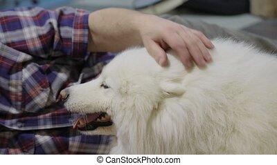 host stroking the dog Samoyed