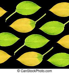 hosta, feuilles