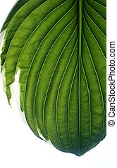 Hosta leaf in green and white