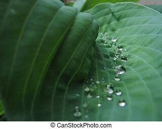 hosta, plant, met, dauw