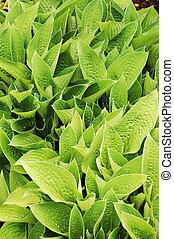 hosta, plant