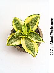 Hosta Potted Green Houseplant