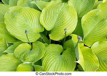 Hosta Sum and Substance plant in the garden