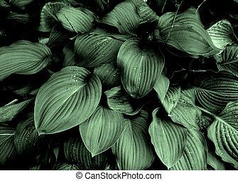 Hostas Raindrops - The broad green leaves of Hostas with...