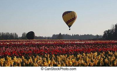 Hot Air Balloons in Tulip Farm - Hot Air Balloons taking off...