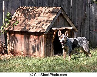 Hot Dog - Blue Heeler standing outside his little wooden...