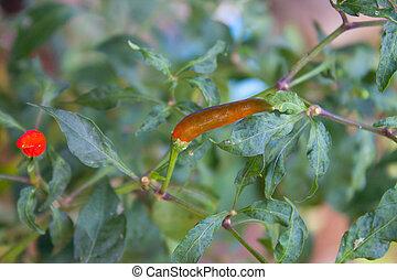 hot long pepper on tree in garden