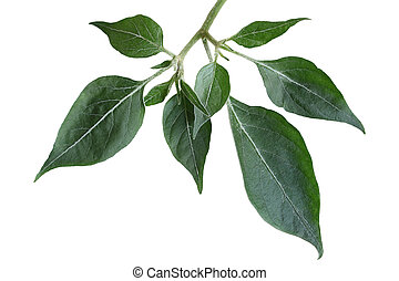 Hot pepper Leaf - Hot pepper leaf on branch isolated on...
