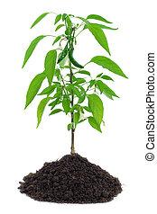 Hot pepper plant