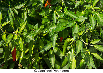 hot pepper plant bush in garden