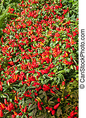 Hot Peppers in Garden