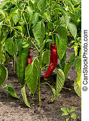 Hot red and green peppers on bushes