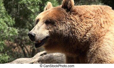 Hot Tired Wild Brown Bear