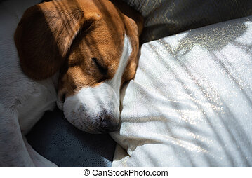 Beagle dog sleeping at home on the couch