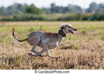Hound dog coursing run