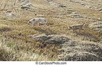 Hound dog hunting in wheat field