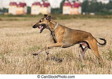 Hound dog run in field