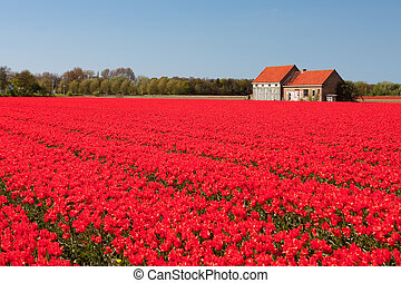 House and field of red tulips