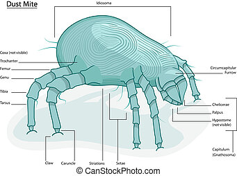 House Dust Mite - Clearly labeled vector illustration of...