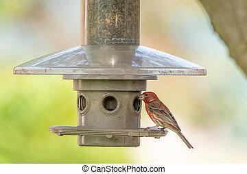 House Finch at Bird Feeder
