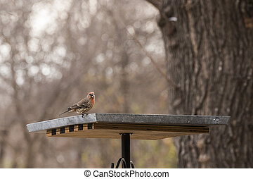 House Finch eating at bird feeder