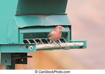 House Finch on Feeder