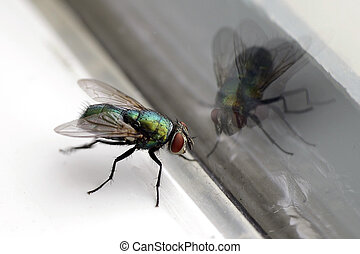 House Fly & Glass - Closeup of a housefly with its...