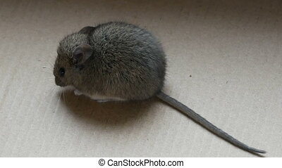 House gray mouse sits in a cardboard box - The house gray...