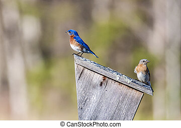 A blue bird couple checks out a house to nest in.