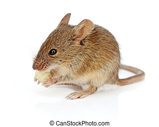 House mouse eating cheese (Mus musculus) - House mouse...