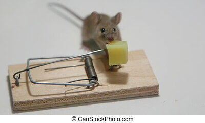 House mouse eating cheese - Mouse exposed to the direst...