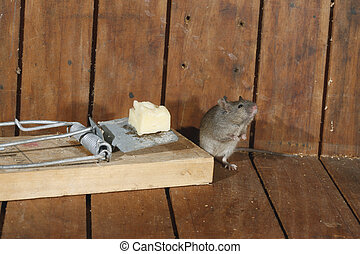 House mouse, Mus musculus,