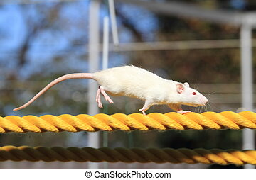 House mouse on the rope