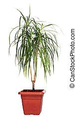 "House palm (Dracaena marginata) - Home plant \\\""Dracaena..."