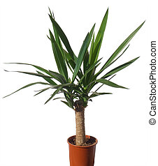 "House palm (yucca) - Window plant \\\""Yucca elephantides\\\""..."