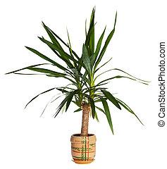 "House palm (yucca) - Home plant \\\""Yucca elephantides\\\""..."