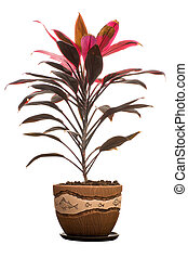 House plant - Cordylina in flower pot isolated on white ...