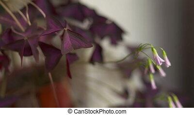 House plant False Purple Shamrock or Oxalis Triangularis...